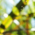 Canas transgênicas mais resistentes a pragas