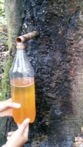 óleo de copaíba sendo coletado de tronco de árvore